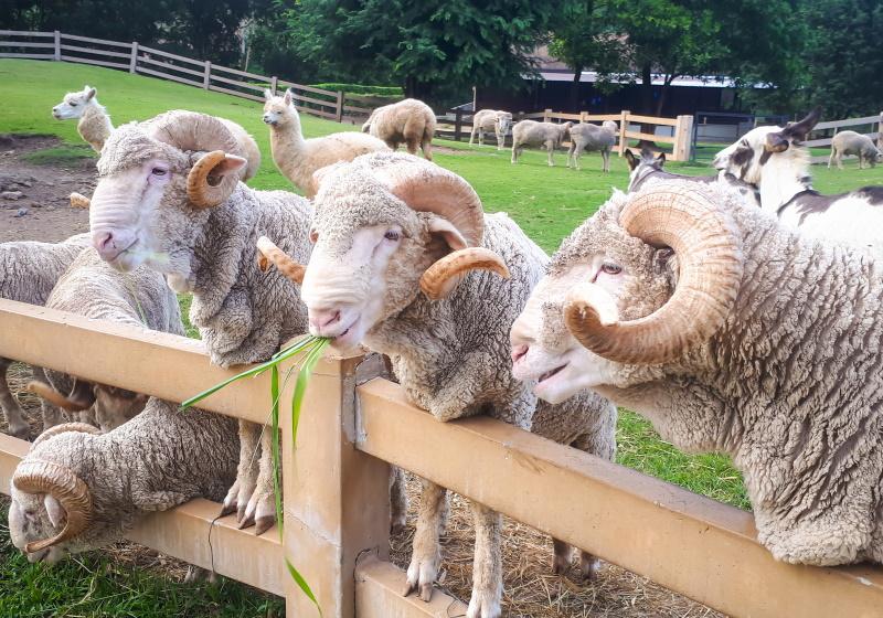 Merino sheep in the farm